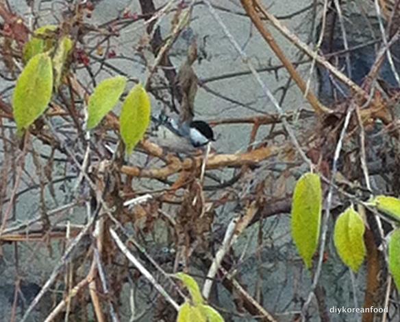 Black cap chickadee in the Bronx