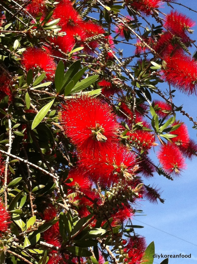 Lemon bottlebrush tree