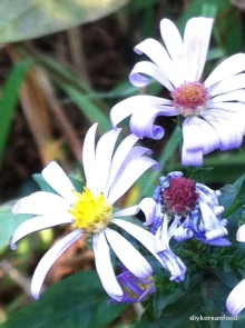 asters of bklyn