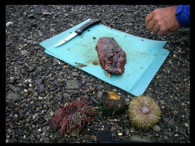 Harvest: sea cucumber