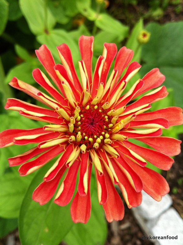 Zinnia Power!