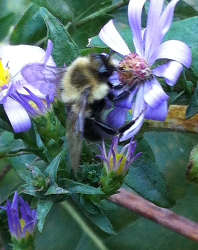 Aster  Bee