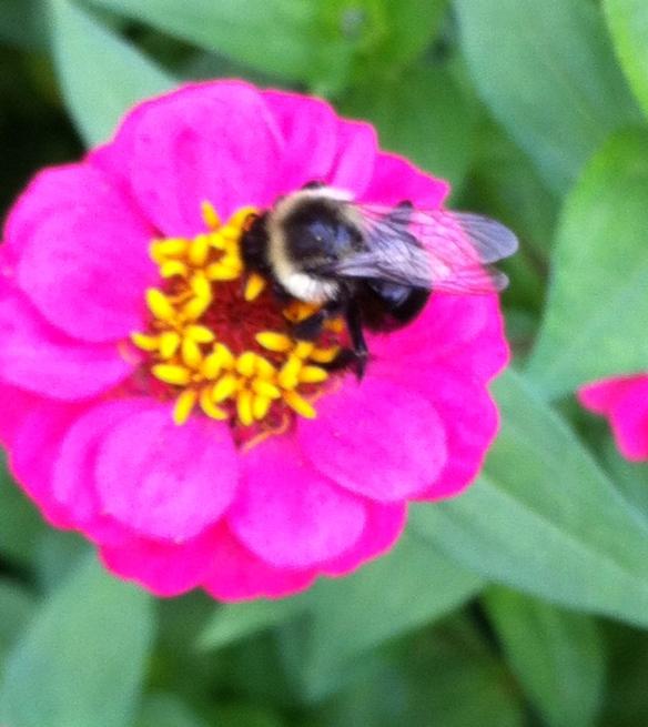 Zinnia & Bee