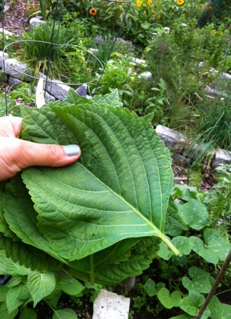 sesame leaves